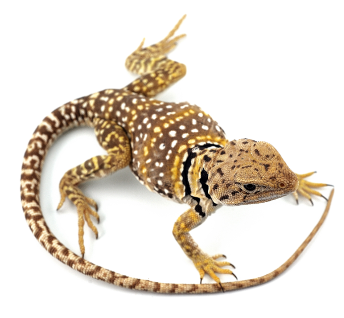 lizard cropped.PNG
